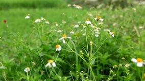 Witte bloemen stock video
