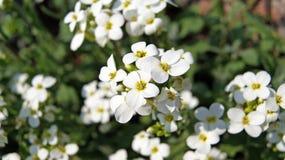 Witte bloemen (Arabis-alpinacaucasica) royalty-vrije stock fotografie