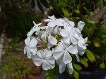 Witte bloemen in bloei stock afbeeldingen