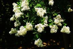 Witte Bloemen in Bloei van een Crepe Mirte Stock Afbeeldingen
