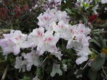 Witte bloemen, bloemen Bloeiende boom in de lente Witte bloemen, azalea'swit, camelia's De lente, bloemen De lente die bloeien, Royalty-vrije Stock Fotografie