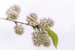 Witte bloemen in bossen op een witte achtergrond royalty-vrije stock afbeelding