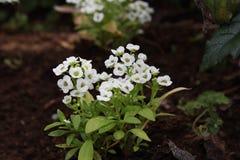 Witte bloemen in de tuin royalty-vrije stock fotografie