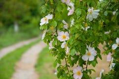 Witte bloemen die op boomtakken groeien groene Bladeren stock afbeelding