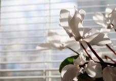 Witte bloemen die zich dichtbij bureauvenster bevinden Stock Afbeelding
