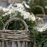 Witte bloemen in een mand Royalty-vrije Stock Afbeelding