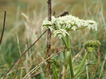 Witte bloemen in een moeras Royalty-vrije Stock Afbeelding