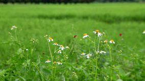 Witte bloemen en bij stock footage