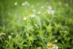 Witte bloemen en bij royalty-vrije stock afbeelding