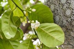 Witte bloemen en bladeren van een jonge boom in de lente Stock Afbeeldingen