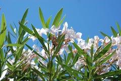 Witte bloemen en blauwe hemel Royalty-vrije Stock Foto