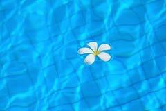 Witte bloemen en pool. Stock Fotografie