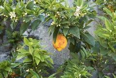 Witte bloemen en rijpe sukade van Citrusvruchtenmedica royalty-vrije stock afbeelding