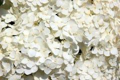 Witte bloemen Gevoelige bloemenachtergrond Stock Foto