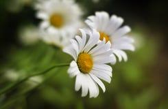 Witte bloemen in het gras Royalty-vrije Stock Afbeelding