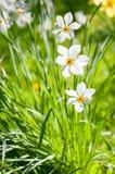 Witte bloemen in het zonlicht Royalty-vrije Stock Foto's