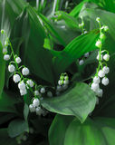 Witte bloemen - lelietje-van-dalen Royalty-vrije Stock Afbeeldingen