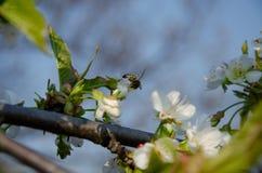 Witte bloemen in macro Bloeiende Bomen Bij op een witte bloem royalty-vrije stock afbeeldingen