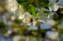 Witte bloemen in macro Bloeiende Bomen Bij op een witte bloem stock foto's