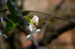 Witte bloemen in macro Bloeiende Bomen Bij op een witte bloem royalty-vrije stock foto