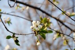 Witte bloemen in macro Bloeiende Bomen Bij op een witte bloem stock afbeelding