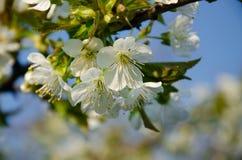 Witte bloemen in macro Bloeiende Bomen Bij op een witte bloem stock fotografie
