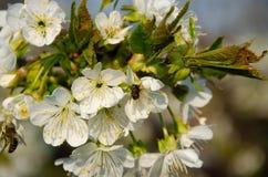 Witte bloemen in macro Bloeiende Bomen Bij op een witte bloem stock afbeeldingen