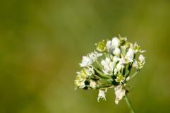 Witte bloemen met dode bladeren Royalty-vrije Stock Fotografie