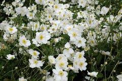 Witte bloemen met geel hart Stock Foto's