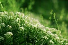 Witte bloemen met groene achtergrond Stock Foto's