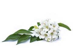 Witte bloemen met groene bladeren Stock Fotografie