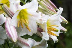 Witte bloemen met waterdalingen royalty-vrije stock fotografie