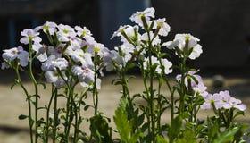 Witte bloemen met waterdalingen stock foto