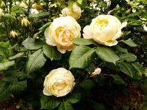 Witte bloemen onder struiken stock fotografie