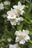 Witte bloemen onechte sinaasappelen Royalty-vrije Stock Afbeelding