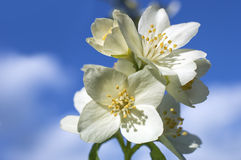 Witte bloemen op blauwe hemel Stock Fotografie