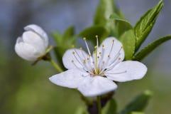 Witte bloemen op bloeiende boom Stock Foto's