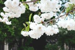Witte bloemen op boom Stock Afbeeldingen