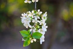 Witte bloemen op boom Bloeiende tak van kersenboom De bloeiende lente royalty-vrije stock afbeelding