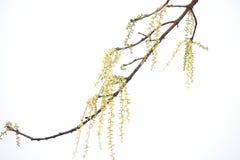 Witte bloemen op boomtak Stock Afbeeldingen