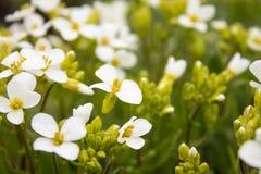 Witte bloemen op een achtergrond van groene bladeren Uiterst kleine witte bloemen in de lente stock foto's