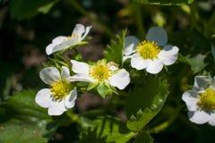 Witte bloemen op een bloeiende boom in de lente onder zonlicht Stock Afbeelding