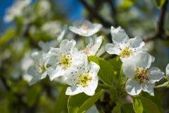 Witte bloemen op een bloeiende boom in de lente onder zonlicht Stock Foto's