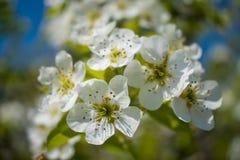 Witte bloemen op een bloeiende boom in de lente onder zonlicht Royalty-vrije Stock Foto's