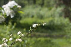 Witte bloemen op een boom stock foto