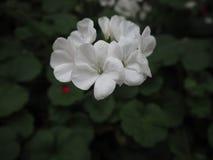 Witte bloemen op een donkere achtergrond Stock Foto