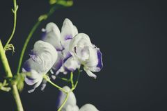 Witte bloemen op een donkere onscherpe achtergrond Royalty-vrije Stock Foto's