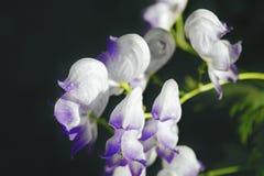 Witte bloemen op een donkere onscherpe achtergrond Stock Afbeelding
