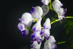 Witte bloemen op een donkere onscherpe achtergrond Stock Foto's