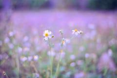 Witte bloemen op een gebied van purple Stock Fotografie